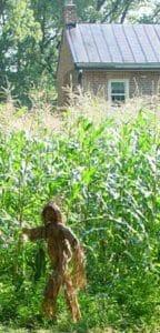 Corn growing in Waterofrd VA